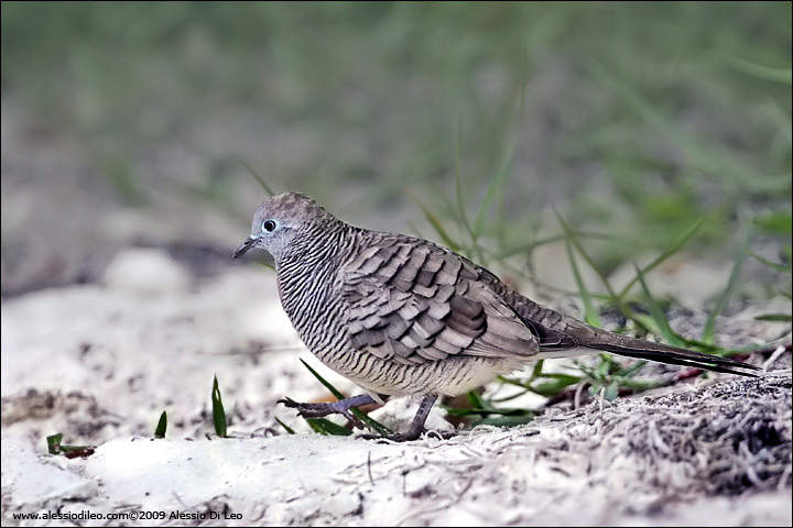Barred ground dove [Geopelia striata]
