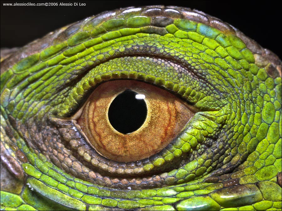 Un iguana ti guarda