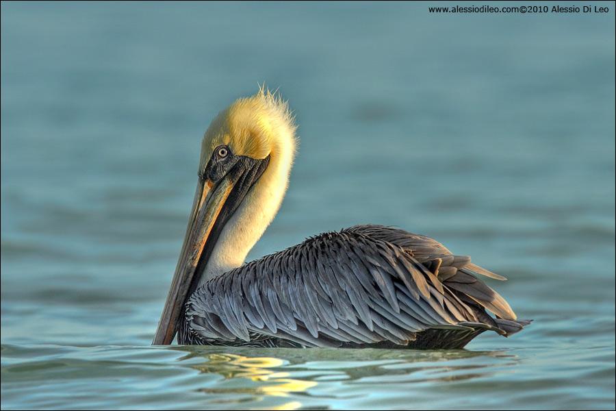 Brown-pelican-holbox.jpg
