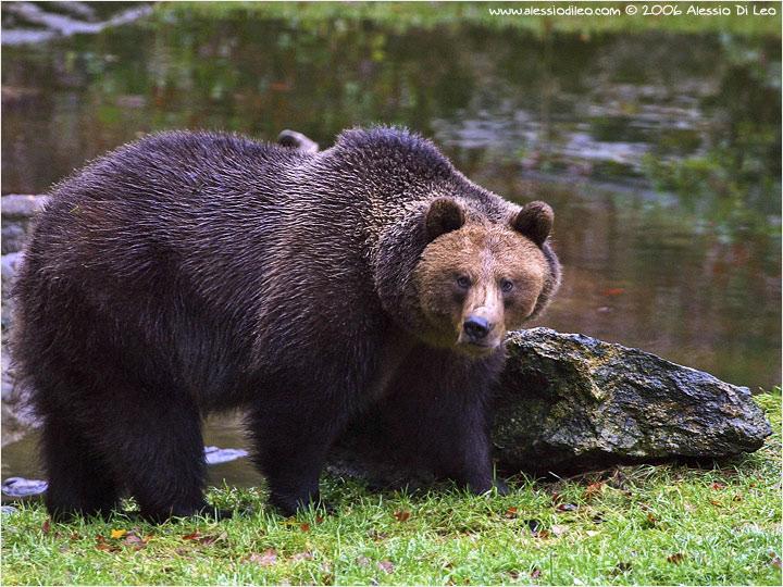 Fauna il potatore for Affittare una cabina grande orso